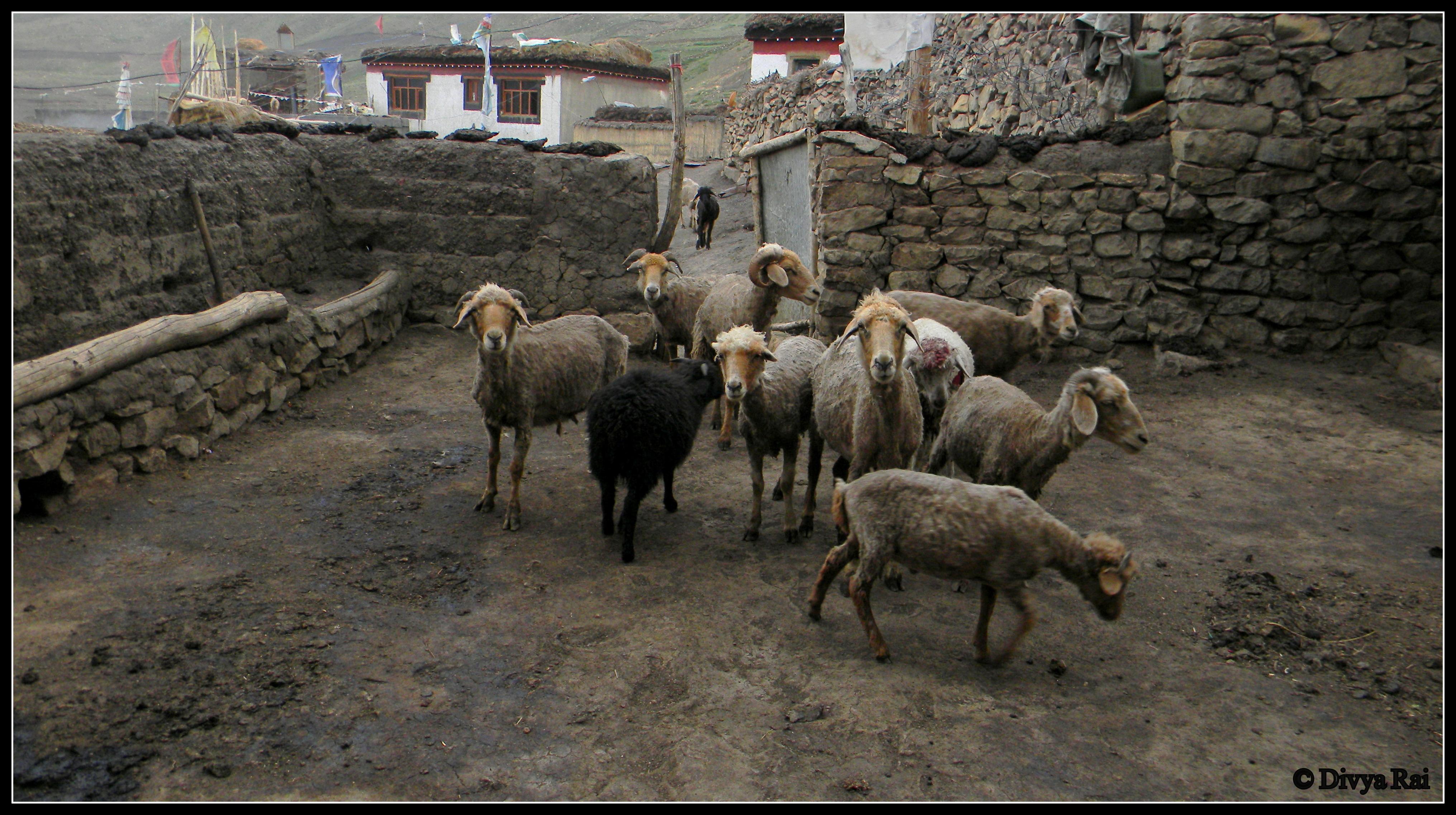 Himlayan village life
