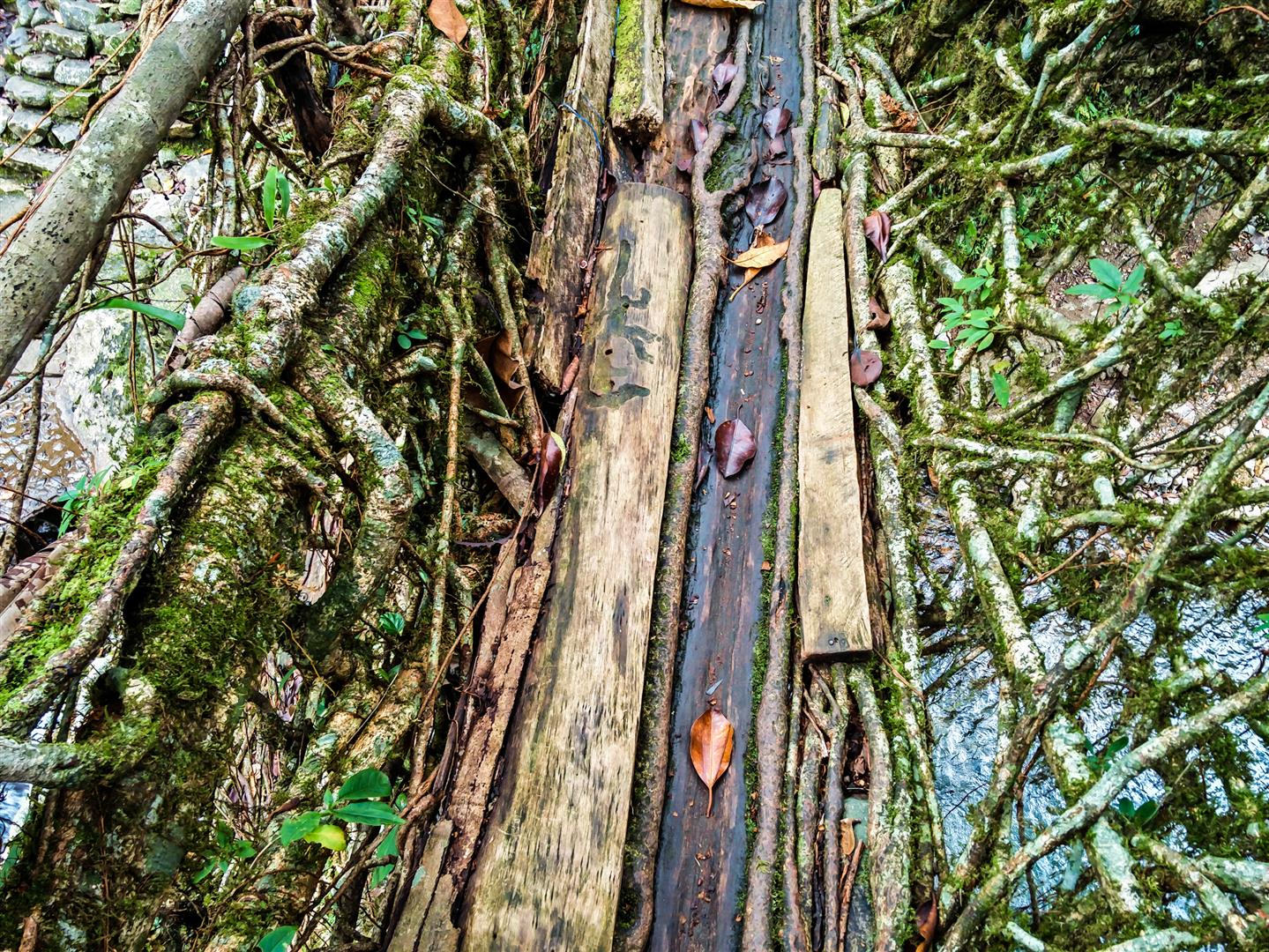 What are living root bridges made of?